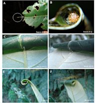 A leaf-rolling caterpillar so small it hasn't developed the need for the protective shelter yet is seen here in image A. In image B, a caterpillar sits inside its shelter. The rolled-up leaf shelter can be seen in images C and D, and is abandon
