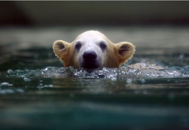 Polar bear cub Anori swims