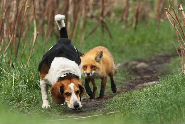 Hunting Dog Hunting Fox