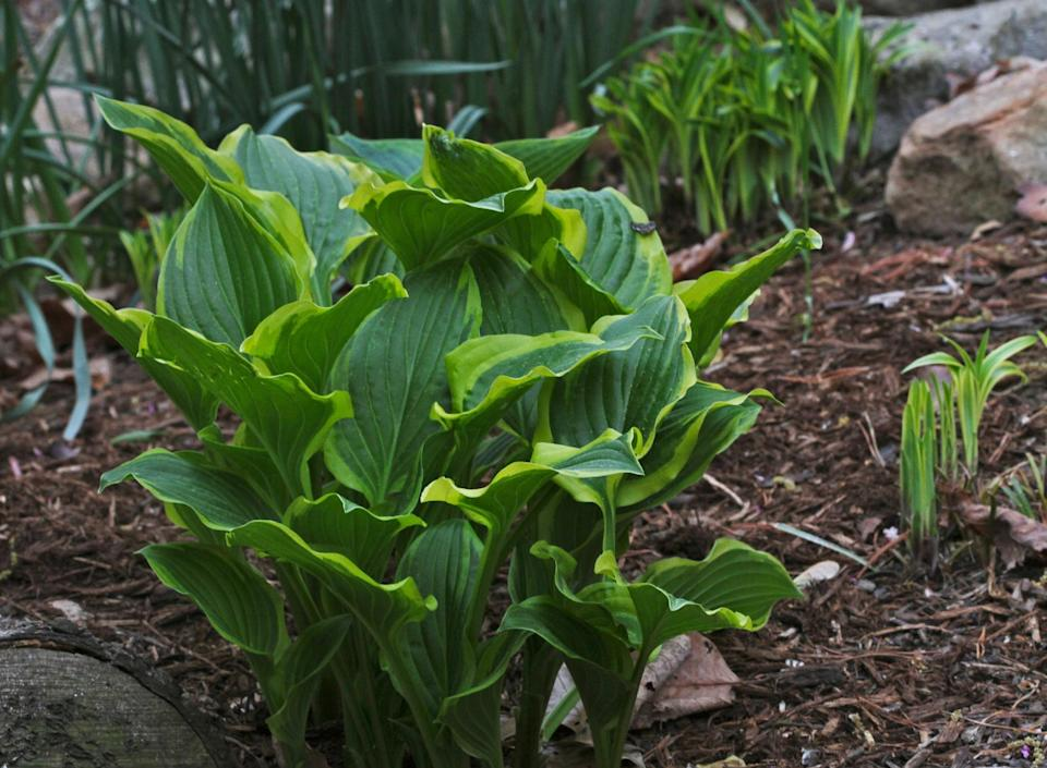 This April 11, 2012 photo shows hostas, with shoots that are tasty and can be prepared in the same way you would cook asparagus, in New Market, Va. Many ornamental plants are beautiful to look at but a few manage to make their way to the kitchen. (AP Photo/Dean Fosdick)