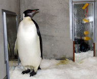 "In this Aug. 28, 2011 photo released by China's Xinhua News Agency, emperor penguin ""Happy Feet"" is seen in his room at Wellington Zoo's hospital, New Zealand. The emperor penguin has been booked onto a research vessel scheduled to leave the country Aug. 29. (AP Photo/Xinhua, Liu Jieqiu) NO SALES"