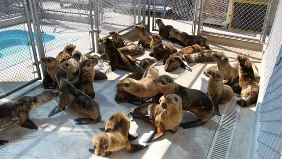 Spike in Sick Sea Lions Along Calif. Coast Puzzles Scientists