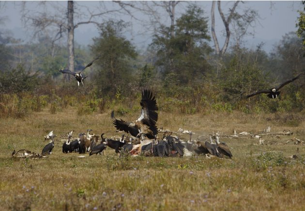 Vultures feed on a cow carcass at a vulture restaurant in Nawalparasi