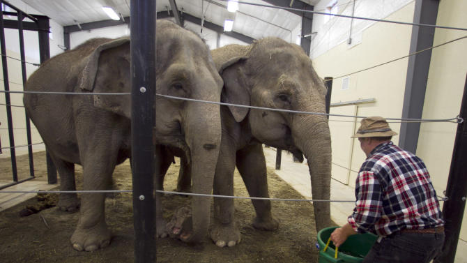 In this photo made Tuesday, Nov. 13, 2012, Opal and Rosie, retired circus elephants, look forward to drinking from a large bucket of water at Hope Elephants, a not-for-profit rehabilitation and educational facility in Hope, Maine. In Maine, a state known for moose and lobsters, the two Asian elephants have found themselves a new home. (AP Photo/Robert F. Bukaty)