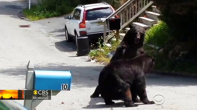 Video captures bear fight in New Jersey suburb
