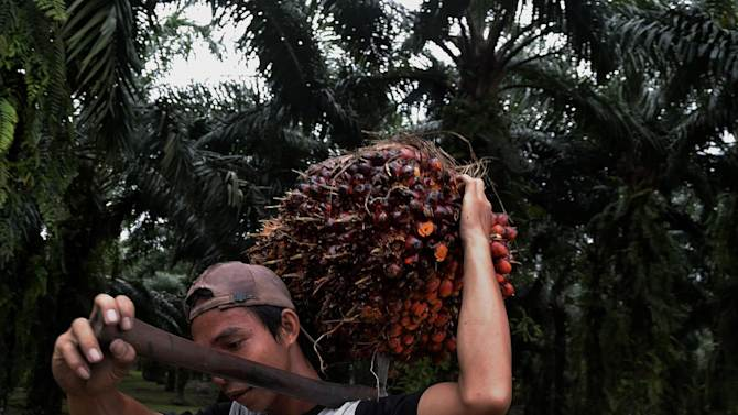 A worker carries a freshly harvested fruit of the palm oil tree in Langkat, Indonesia on May 10, 2014