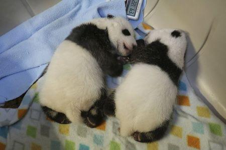 Canada panda cubs doing well, moved to larger incubator: zoo