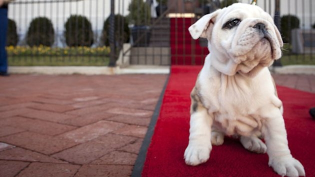 Bulldog Pup Set to Be Marine Mascot (ABC News)