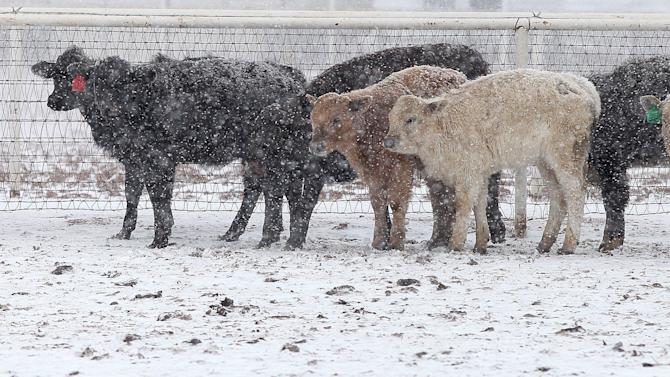 Cattle stand in blizzard conditions in Lubbock, Texas, Monday, Feb. 25, 2013. Monday, Feb. 25, 2013. State troopers are unable to respond to calls for assistance and National Guard units are mobilizing as a winter storm blankets the central Plains with a foot of snow in some places. Roads are closed Monday throughout West Texas and the Panhandle. (AP Photo/Lubbock Avalanche-Journal, Zach Long)
