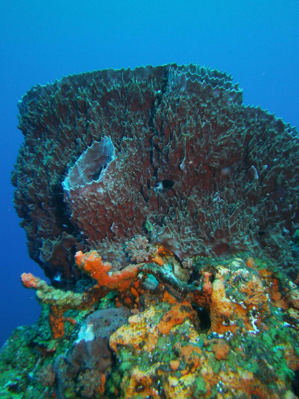 This May 3, 2012 photo shows a giant barrel sponge in the Saba Marine Park in Saba in the Caribbean. Saba is a Dutch municipality popular with divers. (AP Photo/Brian Witte)