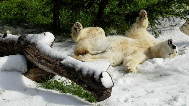 Polar Bears Get Chilly Birthday Surprise