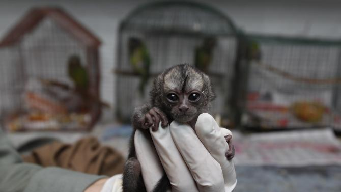 A 15-day-old night monkey sits in a veterinarian's palm at a temporary shelter west of Bogota, Colombia, Monday, Feb. 18, 2013.  Sponsored by Bogota's Ministry of Environment, the shelter receives between 3,000 and 3,500 wild animals a year; some seized from poachers and others found hurt. An estimated $560,000 U.S. dollars are spent in the recovery and care of these animals. Seventy percent of rescued animals are reintroduced to their habitat and the remaining 30% are sent to zoos around the country. (AP Photo/Fernando Vergara)