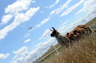 Llamas, goats, sheeps, donkeys hired grasscutters in Chicago airport