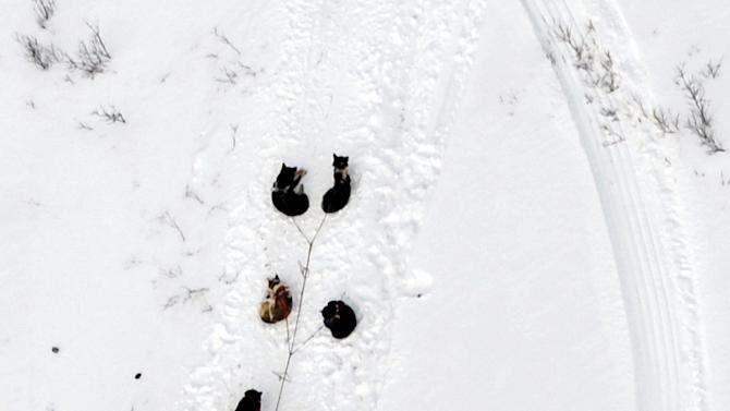 In this March 5, 2013 photo, s musher and dog team rest between the Rohn and Nikolai checkpoints in Alaska during the Iditarod Trail Sled Dog Race.  (AP Photo/The Anchorage Daily News, Bill Roth)