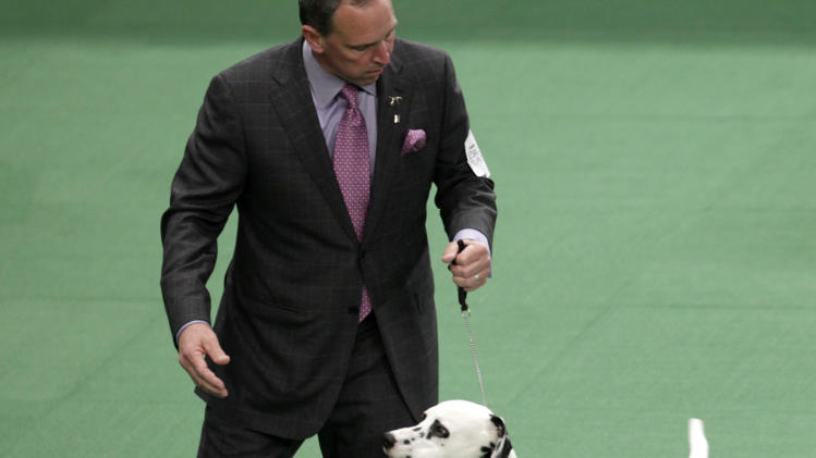 A Dalmatian named Ian, with his handler Michael Scott, competes in the non-sporting group, which he won, at the 136th annual Westminster Kennel Club dog show in New York, Monday, Feb. 13, 2012.  (AP Photo/Seth Wenig)