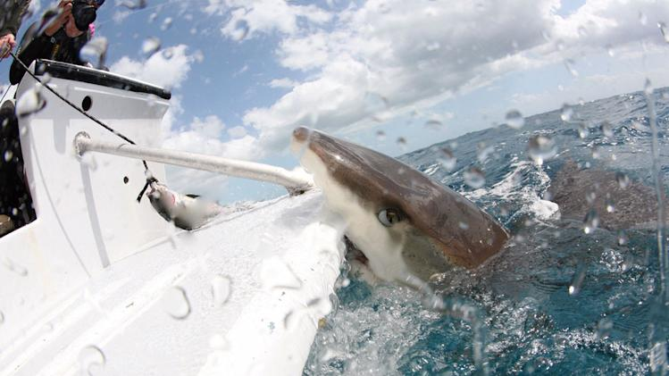A shark attacking a boat is caught on camera. Day of the Shark 2