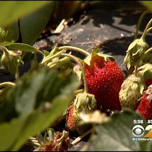 Rutgers Scientists Create New Strawberry To Wow Your Taste Buds