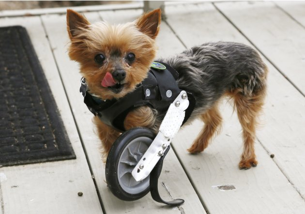 A Yorkshire Terrier named Hope shows off her uni-wheel attached to a doggie vest in Longmont