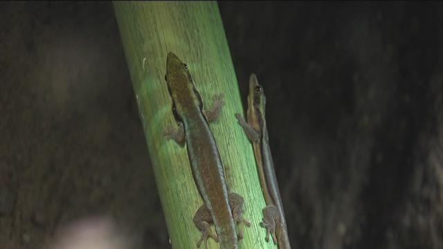 Gecko exhibit featuring 80 live lizards comes to Indianapolis Children's Museum
