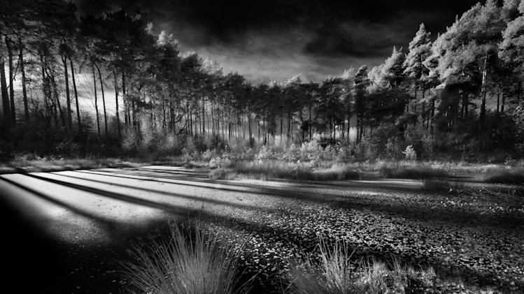 Delamere Forest, Cheshire: Another picture by overall winner David Byrne shows a spectacular group of trees, taken with a Nikkor 10-24mm lens. The picture was the winner of the 'Classic View' adult class. (David Byrne, Landscape Photographer of the Year)