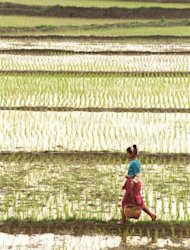 This file photo shows a peasant walking through rice paddies near Jinghong, in southwestern China's Yunnan province. Among the foodstuffs under threat of disappearing are black and red rice -- highly popular in ancient China -- and a rare type of flour from the south