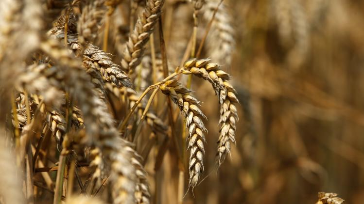 A file photo of a field of unharvested wheat is seen in Beaucamps-le-Vieux, northern France