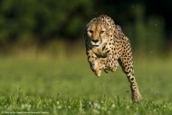 An 11-year-old cheetah named Sarah broke a world record by running 100 meters in 5.95 seconds on June 20, 2012. [<a href=http://www.livescience.com/22078-cheetah-wild-cats-photos.html>See more photos of cheetahs</a>]