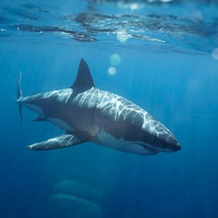 White and gray shark