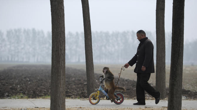 A two-year-old macaque is trained to ride a bicycle in a village of Suzhou, Anhui province