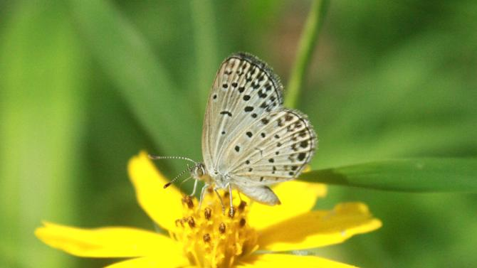 In this undated photo taken by Masaki Iwata of Univesrity of the Ryukyus and released by the university, a normal adult pale grass blue butterfly suckles nectar from a flower. Japanese researchers said they found mutations in butterflies caused by radiation from the crippled Fukushima Dai-Ichi nuclear power plant. A member of the team conducting the research, Joji Otaki of the university, said Wednesday, Aug. 15, 2012, that his group's findings show radiation emitted following catastrophic meltdowns in three of the plant's reactors after it was damaged by a 9.0-magnitude earthquake and tsunami on March 11, 2011 is affecting the environment. (AP Photo/Masaki Iwata of University of the Ryukyus) NO SALES, MANDATORY CREDIT, EDITORIAL USE ONLY