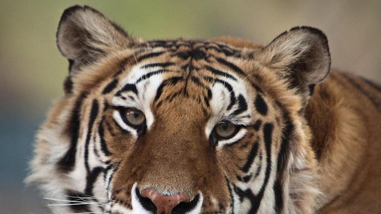 This image provided by Bill Dow shows a tiger formerly owned by Michael Jackson,named Thriller, shown in California. Thriller, the tiger that belonged to Michael Jackson when the entertainer lived at Neverland, died of lung cancer at Tippi Hedren's wildlife preserve near Los Angeles on June 11, 2012. (AP Photo/Bill Dow)  MANDATORY CREDIT