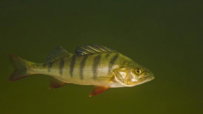 This circa 2009 photo provided by Bent Christensen shows a perch fish in Sweden. Swedish researchers who did the study on traces of anti-anxiety drugs in water, suspect the little drugged fish could become easier targets for bigger fish because they are more likely to venture alone into unfamiliar places. (AP Photo/Bent Christensen)