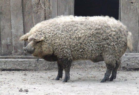 Meet the Managlica: a pig that looks like a sheep