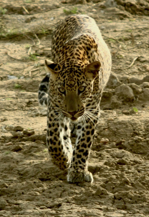 Night Stalkers: Leopard B …