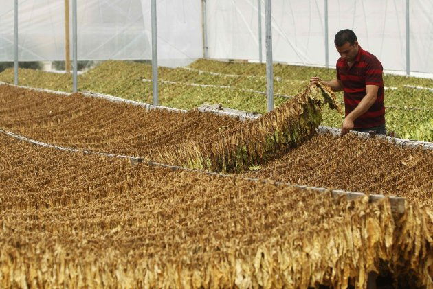 A worker checks drying tobacco leaves in a greenhouse in village near Jenin