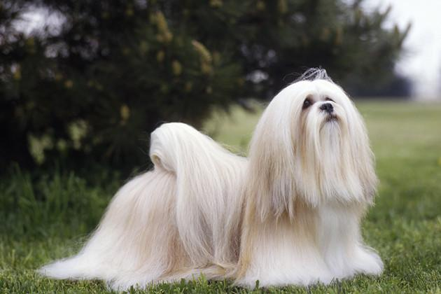 Lhasa Apso — As Active as His Family