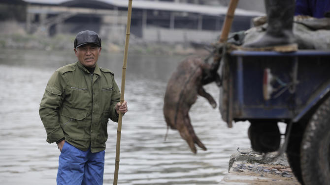 Flood of dead pigs, trickle of answers in China