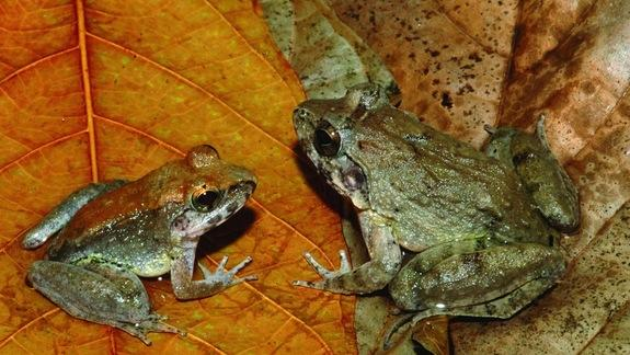 Fanged Frog Species Gives Birth to Live Young