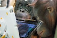 Orangutans watch a video on an iPad held up to the glass of their enclosure at Milwaukee County Zoo. Zoo keepers have been using iPads as enrichment tools for nearly a year now and is retrofiting their building with wifi so the playful primates can soon have &#39;playdates&#39; with orangutans at other zoos using livestreaming video applications like FaceTime