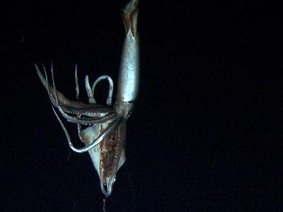 Raw: First Ever Video of Giant Squid in Deep Sea