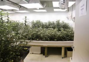 Marijuana plants are pictured in a grow room during a tour at the Sea of Green Farms in Seattle, Washington