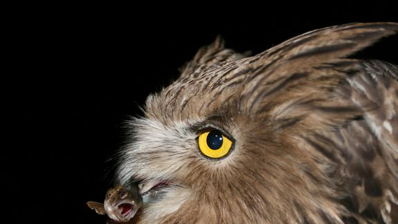World's Largest Owl Exposes Health of Russia's Forests