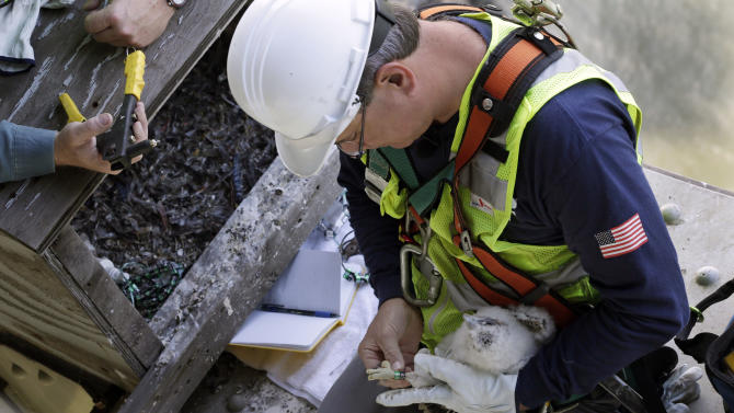 Wildlife biologist Chris Nadareski, of the New York City Department of Environmental Protection, puts a leg band on one of four peregrine falcons, at a nest at the east tower of the George Washington Bridge, over the Hudson River, in New York, Tuesday, May 21, 2013. The chicks hatched three weeks ago on a girder six feet below the bridge's lower level. Their parents are among 20 pairs of peregrine falcons living in New York City. (AP Photo/Richard Drew)