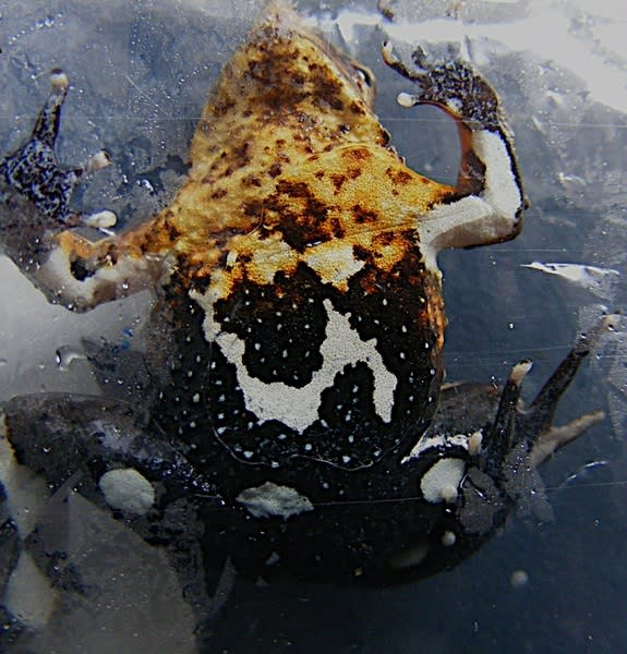 Darwin's Frogs Are in Steep Decline