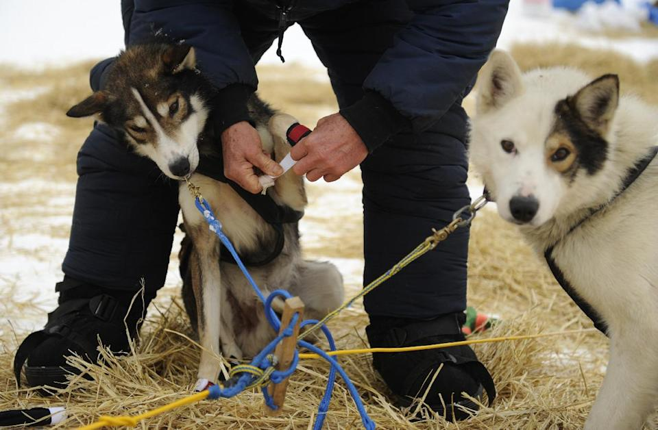 Dan Seavey puts booties on one of his dogs as he prepares to leave the Skwentna, Alaska, checkpoint on Monday morning, March 5, 2012, during the Iditarod Trail Sled Dog Race. (AP Photo/Anchorage Daily News, Marc Lester)