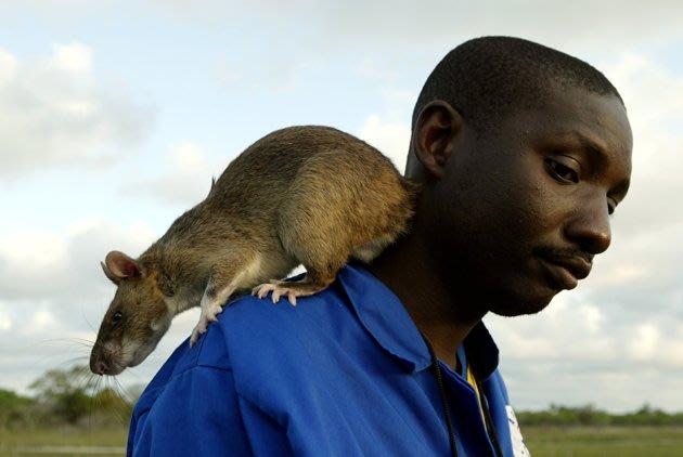 Wabah Tikus Raksasa Gambia Di Florida [ www.BlogApaAja.com ]