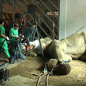 Raw: Elephant Undergoes Surgery in Tbilisi Zoo