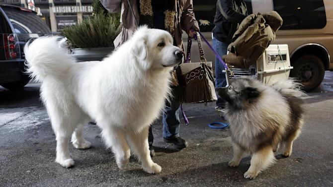 Owner Darla Daugherty, of Danville, Ind., arrives with her Great Pyrenees named Beren, the No. 1 in his class, and a Cason named Sully at the Hotel Pennsylvania in New York, Sunday, Feb. 10, 2013. The hotel, directly across from Madison Square Garden, houses dogs participating in the Westminster Dog Show, which is scheduled to run Monday and Tuesday. (AP Photo/Kathy Willens)