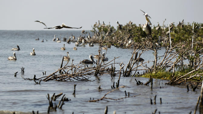 Dead mangrove is seen on the water near the heavily eroded shoreline of Cat Island in Barataria Bay in Plaquemines Parish, La., Wednesday, April 11, 2012. (AP Photo/Gerald Herbert)