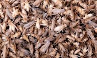Dead Crickets Kick Up A Stink In US Town